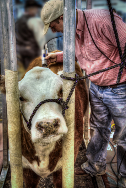 Students have spent many hours working toward this one day of showing off their livestock. This calf is getting a quick touch-up for the Houston Livestock Show last year. Photo by Tim Stanley Photography.