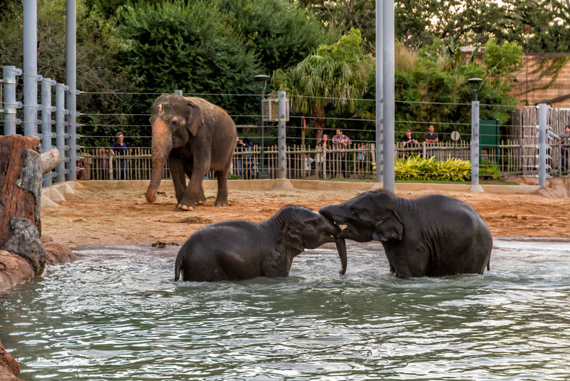 These two elephants came running up to the large one and stopped as if to ask if they could go swimming, then they both turned and ran straight for the water. Photo by Tim Stanley Photography.