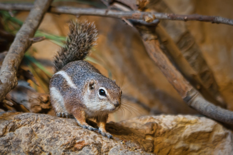 A squirrel watching cautiously.