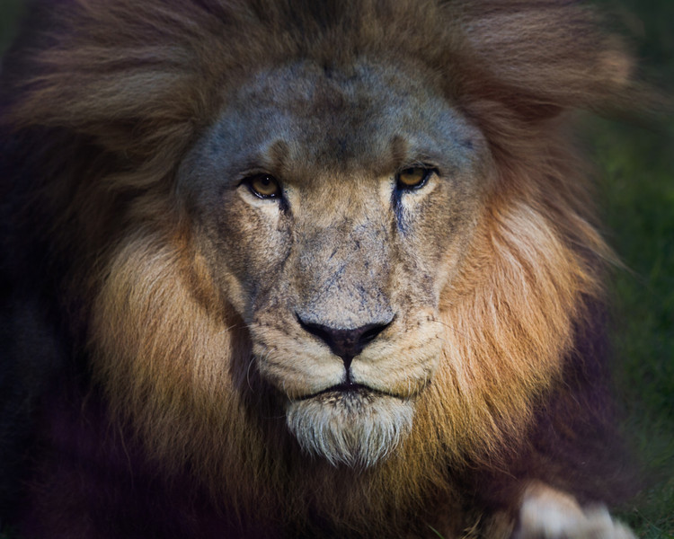 A lion waits in the shadows. Photo by Tim Stanley