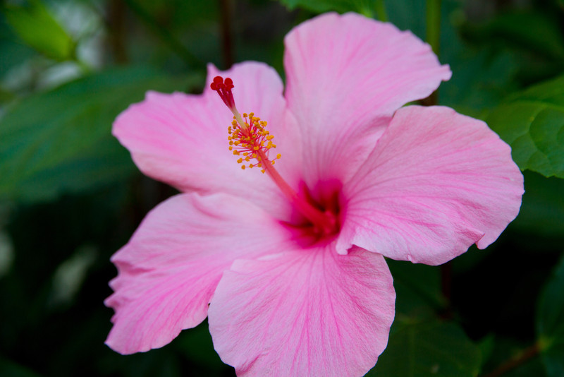 I have a great respect for farmers and anyone with a green thumb. This pink hibiscus was found at Vargos in Houston.