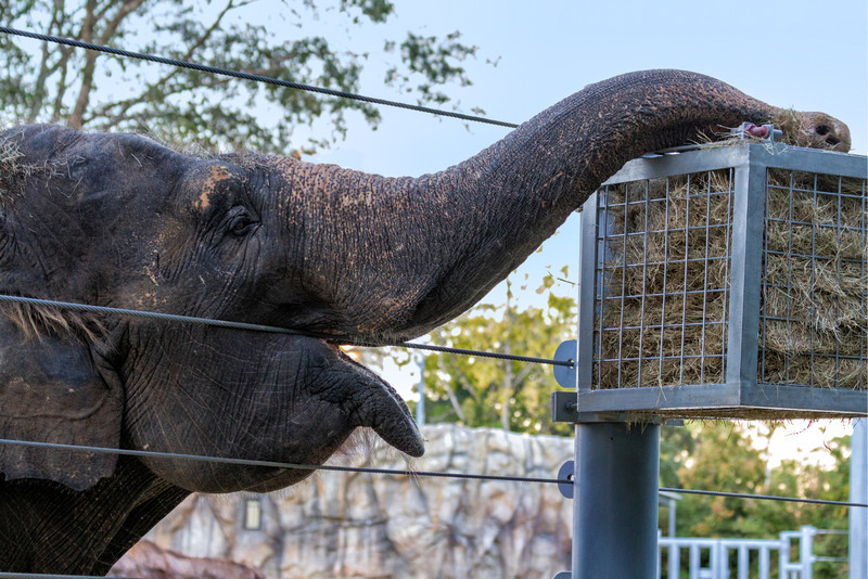 It was something to see this elephant use his trunk to twist the hay out the side of the wires and pull out a huge clump to munch. Photo by Tim Stanley Photography.